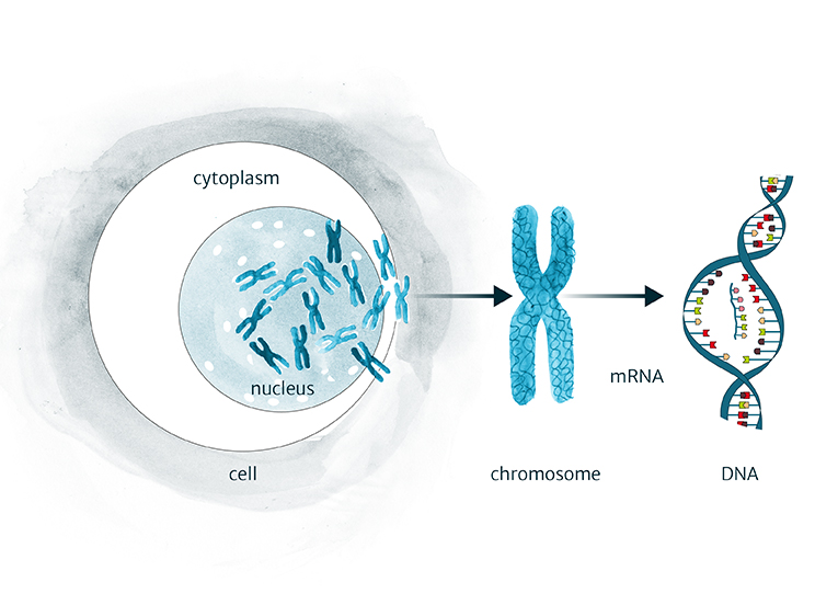 A diagrammatic representation of the human cell